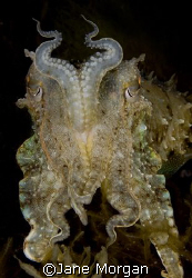 Cuttlefish on a night dive in Malta. Nikon D80, 60mm lens by Jane Morgan 
